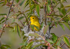 Nesting Yellow Warbler (Kremlken) Tags: warblers breeding birds birding nest cambridgesprings nikon500 spring