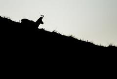 Silhouette (Eric Penet) Tags: chamois animal sauvage vosges hohneck wildlife wild france faune nature rupicapra est mai printemps montagne mountain mammifère mammal alsace lorraine silhouette noir noiretblanc blanc blackandwhite