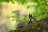 red brush ear (judith.kuhn) Tags: natur nature tier animal nagetier rodent eichhörnchen squirrel baum tree ast limb blätter laub leaves moos moss säugetier mammal sciurusvulgaris