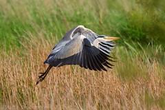 Grey Heron in flight 106626 (wildlifetog) Tags: grey heron isleofwight inflight blackmore britishisles britain bird birds british brading mbiow martin marsh uk wild wildlife wings canon england eos7dmkii flying flight