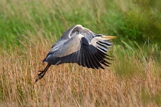 Grey Heron in flight 106626