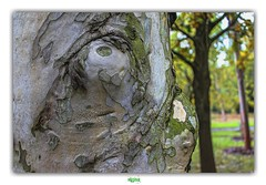 LEVER LES YEUX AU CIEL // ROLLING HIS EYES (régisa) Tags: lookup yeux oeil ciel leverlesyeuxauciel rollinghiseyes analogy attitude tree arbre trunk écorce tronc analogie wakehurst wakehurstplace bouleau birch betula ardingly sussex