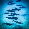 Spinner dolphins at Electric Beach, Oahu (eikonologos.images) Tags: pod underwater cetaceans dolphins hawaii stenellalongirostris ko'olina oahu spinnerdolphins