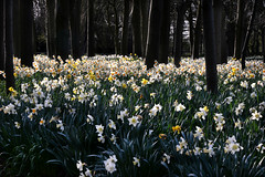 Henry's children (PentlandPirate of the North) Tags: daffodils swettenham congleton cheshire trees spring flowers woodland ~flickrinnes flickrinnes