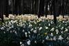 Henry's children (PentlandPirate of the North) Tags: daffodils swettenham congleton cheshire trees spring flowers woodland
