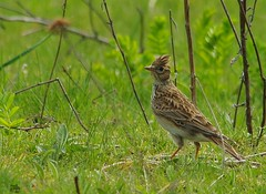 skylark (1) (Simon Dell Photography) Tags: nature spring summer sheffield shirebrook valley s12 wild wildlife animals birds sky lark pipit butterflys simon dell photography