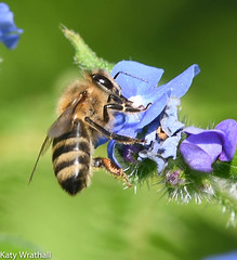 Floret extraction (Katy Wrathall) Tags: 2018 may spring bee birds forgetmenot garden pond