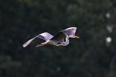 Szürkegém (HorvathZsolt73) Tags: ardeacinerea szürkegém naplás water wetlands birds budapest greyheron