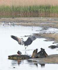 Grey Heron and Wetland Birds - Cresswell (Gilli8888) Tags: nikon p900 coolpix northumberland cresswell cresswellponds water wetlands countryside birds waterbirds heron greyheron sandbank