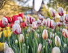 Canadian Tulip Festival 2018 (Oleh Khavroniuk (Khavronyuk)) Tags: nikon nikkor ottawa myottawa ontario yourstodiscover canada explorecanada colors colours candid red tulips flowers dof depthoffield bokeh bokehlicious green flora flower tulip festival canadian may light day outdoors travel travelphoto travelphotography geotagged new digital flickr park city downtown town garden nature naturaleza naturephotography art photoart photography photo summer colorful holiday event festive colour natur d750