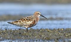 Curlew Sandpiper (arunprasad.shots) Tags: explore ngc breeding migrant pulicat shorebird wader nikon birdsofindia indianbirds birding