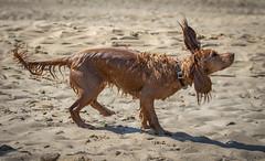 Ready for take off ? (paullangton) Tags: dog spaniel beach water sun blue shake canon juno cornwall sand fun wet ears