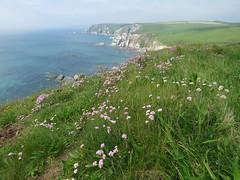 Seapinks! ('cosmicgirl1960' NEW CANON CAMERA) Tags: devon coast path coastal seaside cliffs flowers worldflowers nature geology ayrmercove green grass blue sky sea water clouds yabbadabbadoo