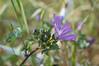 Ψίνθος (Psinthos.Net) Tags: ψίνθοσ psinthos spring άνοιξη απρίλησ απρίλιοσ nature countryside φύση εξοχή γύρη pollen χόρτα greens drygrass ξεράχόρτα μολόχα μολόχεσ άγριολουλούδι αγριολούλουδο αγριολούλουδα άγριαλουλούδια λουλούδια λουλούδι flowers flower wildflowers wildflower mallow marshmallow mallows marshmallows μαλάχη malvasylvestris βότανο herb wort blossom άνθοσ ανθόσ μώβάνθοσ μώβανθόσ purpleblossom purpleblossoms blossoms άνθη μώβάνθη φύλλα leaves sunnyday day μέρα ηλιόλουστημέρα φώσ light μπουμπούκια buds