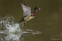 Wood Duck flight (Earl Reinink) Tags: spring water pond bird animal duck waterfowl nature earl reinink earlreinink marsh color wings woodduck ttideahdza