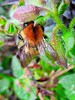 Buzzy Bee (seanwalsh4) Tags: bee honey wings nature love furry wild happy beautiful flying buzzybee makemyhoney buzz delightful insect