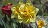 NARCISI - APRILE 2018 (MY SECRET WINDOW) Tags: narcissus tulip flower fiori fiore tulipano narciso giardino garden rosa rose macro pianta allaperto fioritura pastello calma petalo roseto roses red rossa plant foglie foglia leaf profondità di campo
