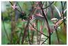 rosa Blattwerk sprießt dem Frühling entgegen (h.ullrich) Tags: helios 442 258 natur pflanze blume grün macro detail nahaufnahme m42 bokeh
