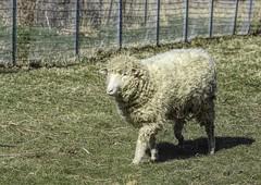 Another Ewe. (Jo Zimny) Tags: sheep running curly woolly female ewe