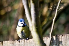 A cheeky little blue tit (Rob Furminger) Tags: blue tit tits bird garden birds fence beautiful small tiny lovely cute cheeky colour color yellow wooden wood trees tree brill bucks buckinghamshire england uk great britain