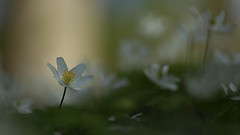 Im Wald (IIIfbIII) Tags: anemone blume buschwindröschen flora wald frühling weis white spring schatten mv mecklenburg pflanze wild art canon fantastic nature