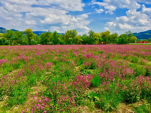 Field of wild flowers in full bloom in spring between Oberaudorf and Kiefersfelden, Bavaria, Germany