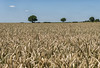 A full crop (David Feuerhelm) Tags: nikkor field wheat crop farm sky tree horizon oxfordshire england nikon d750 2470mmf28 landscape