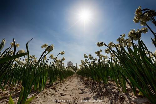 Flowerbulbs 2 - Daffodil