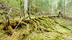 Forest floor in the Nuuksio national park (Velskola, Espoo, 20180428) (RainoL) Tags: crainolampinen 2018 201804 20180428 april esbo espoo finland forest forestfloor fz200 geo:lat=6030272102 geo:lon=2463247728 geotagged nationalpark nouxnationalpark nuuksionationalpark nuuksionkansallispuisto nyland spring tree trees uusimaa velskola vällskog fin