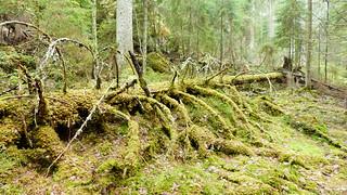 Forest floor in the Nuuksio national park (Velskola, Espoo, 20180428)