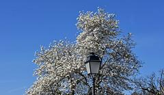 Magnolias blanc étoilé (Diegojack) Tags: d7200 morges vaud suisse printemps magnolias lampadaire contreplongée blancheur e groupenuagesetciel