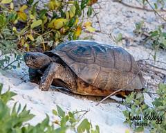 Gopher tortoise at Butler Beach (James Kellogg's Photographs) Tags: sand dunes beach full moon tortoise gopher florida bunny rabbit hot st augustine saint butler critter