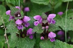 Wild Flower (Hugo von Schreck) Tags: hugovonschreck wildflower wildblume blume flower macro makro canoneos5dsr tamron28300mmf3563divcpzda010