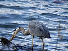 Héron cendré (Ardea cinerea) (Ezzo33) Tags: france gironde nouvelleaquitaine bordeaux ezzo33 nammour ezzat sony rx10m3 parc jardin oiseau oiseaux bird birds specanimal héron cendré gray heron