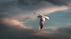 Seagull (Dragan*) Tags: seagull bird animal wings flying sky cloud sunset nature outdoor