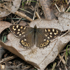Speckled Wood (Huddsbirder) Tags: huddsbirder speckled wood a6500 sony fe70300 work butterfly