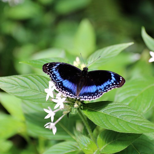 Blue Banded Eggfly
