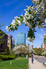 IMG_6082 (ckhaley) Tags: arnoldarboretum arnold arborteum spring boston jamaicaplain flowers flower floweringtrees tree trees