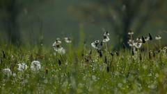 morning dew bokeh (petegatehouse) Tags: morning dew bokeh grasses field wet dandelions