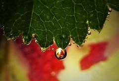 Along a Jagged Edge..x (Lisa@Lethen) Tags: macromondays jagged leaf edge flower petal tulip droplets water macro wet rain weather bokeh