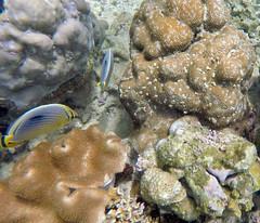Chaetodon trifasciatus / Melon butterflyfish (vic_206) Tags: melonbutterflyfish chaetodontrifasciatus fish seychelles goprohero5 snorkel