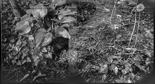 overlapping frames, hostas, ivy, dandelion, yard, Asheville, North Carolina, Diana F+, Kodak TMAX 400, Ilford Ilfosol 3 developer, mid April 2018