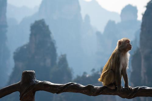 Blending In - Zhangjiajie Monkeys