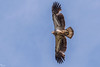 juvenile bald eagle in flight (loco's photos) Tags: caledonstatepark da300 k1 kinggeorge pentax virginia baldeagles naturalarea wildlife