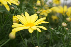 Petalsplosion (jfingas) Tags: ottawa canada spring flower flowers byward market yellow