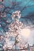 CherryBlossoms2018-17 (EmilyPostPhoto) Tags: cherryblossoms highpark cherrryblossom toronto