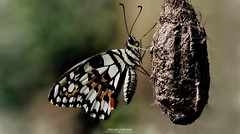 The cocoon (fontanini.stefano) Tags: canon nature blur light wings newborn cocoon colorful colors macro insect butterfly
