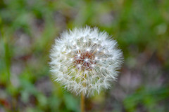 Gone To Seed Dandelion. (dccradio) Tags: lumberton nc northcarolina robesoncounty outdoors outside backyard yard grass greenery bokeh gonetoseed dandelion seed seeds lawn ground nature natural nikon d40 dslr