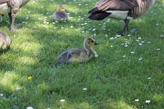 Canada goose - Branta canadensis (Björn S...) Tags: brantacanadensis kanadagans barnaclacanadiense gansodelcanadá bernacheducanada ocadelcanada canadagoose