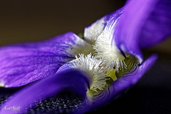 Wild Violet #1 (Scott Stults) Tags: canon eos rebel t6i ef 50mm f18 stm wildflower wild flower violet